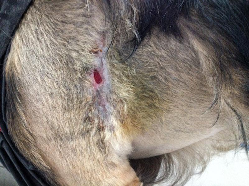 hund_bissverletzung_nachher